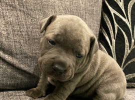Chunky blue Staffordshire bull terrier puppies