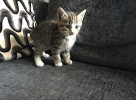 BEAUTIFUL TIGER STRIPED BOY VET CHECKED CAN DELIVER