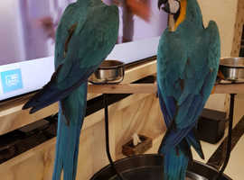 Hand reared blue and gold macaw babies