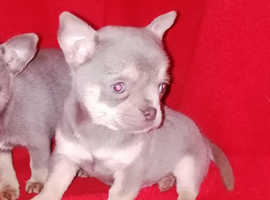 Lilac and tan chihuahua puppy