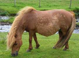 2 standard shetland reg  foals and shetland mare
