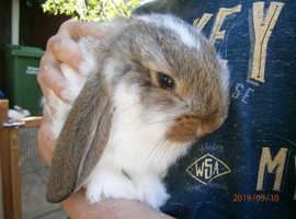 Lovely Chunky French Lop Babies To RESERVE - Vaccinated