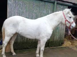 Very pretty grey mare