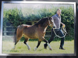 Lovely Section A Gelding