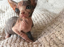 Sphynx Cats & Kittens For Sale & Rehome in Burton On Trent
