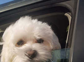 Wanted maltese girl puppy