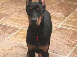 Top Quality Imported Male & Female Dobermann Puppies Available