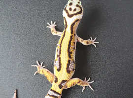 Male zorro bandit leopard gecko cb 20