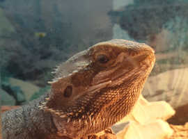 Bearded dragon !!REDUSED £70 NO LOWER!!