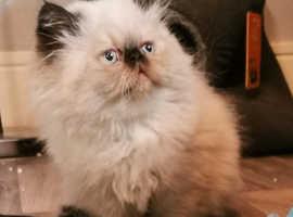 Himalayan Persian kittens (ready now?