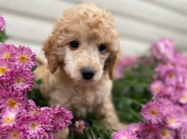 Stunning miniature poodle puppies