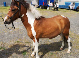 Gorgeous potential kids/all-round pony