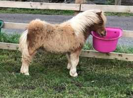 Miniature Shetlands Available