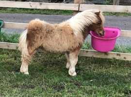 Miniature Shetland filly foal