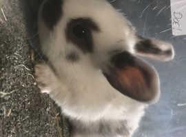 Mini lops cross Rex for reserving