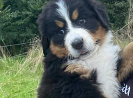 Bernese mountain pups   for sale