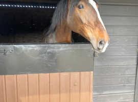 Stunning friesian x mare