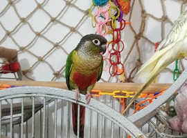 Cute friendly young conure