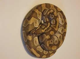 (Mochi) mojave enchi ball python