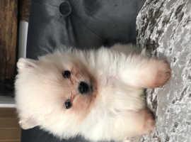 White teddy bear Pomeranian female puppy