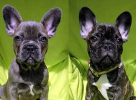 French Bulldog PUPS - Blue and Brindle - ISABELLA Carriers
