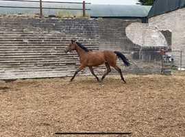 3 Yr Old National Hunt mare