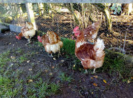 Six laying hens