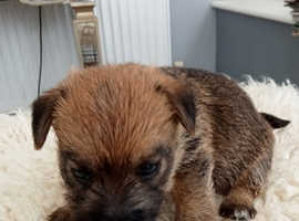 3/4 Norfolk Terrier puppies