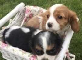 Stunning cavalier puppies