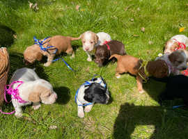 Cocker spaniel puppies for aale