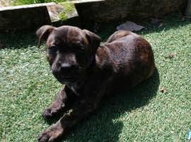 Female Staffie pup