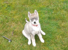 Young 11mounth husky pup