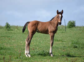 Well-bred Competition Foal