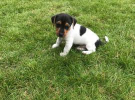 Jack Russell puppie
