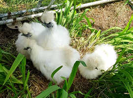 Beautiful Silkie chicks 12 weeks skipton