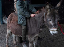 Loving brown donkey gelding