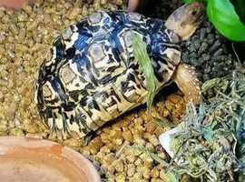 4 year old female leopard tortoise
