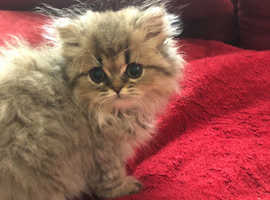 Persian Cats & Kittens For Sale & Rehome in Norfolk | Find