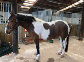 Part bred Welsh bay tobiano Mare