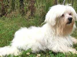 Maltese terrier at stud