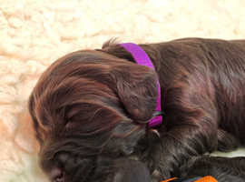SOLD**Gorgeous Chocolate Health Tested F1 Cockapoo Puppies**