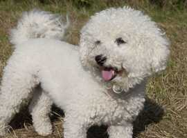 looking for Bichon Frise male .