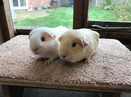 Sweet pair of baby Self Guinea Pig boars - £40 the pair