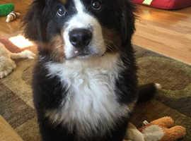 **2 Girl & 2 Boys Bernese Mountain Dog available***Fully KC registered