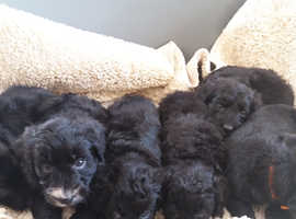 Colliepoo puppies for sale *one girl left*