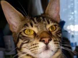 mixed breed cat half maincoon half bengal