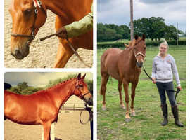 151cm competition horse for sale