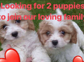In need of 2 Cavachon puppies to complete our family