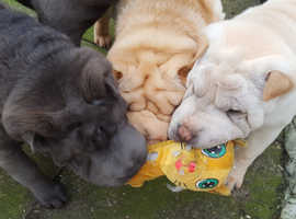 KC reg Shar Pei puppies. Blue, and Cream