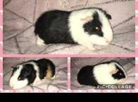 Trio of guinea pigs